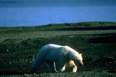 A polar bear roams the slow-growing vegetation on the tundra.