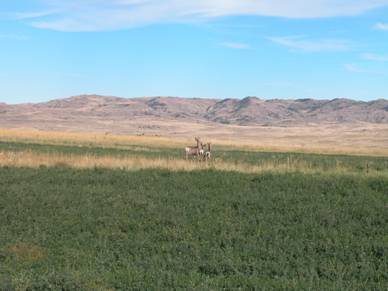 Deer in the Powder River Basin, locale of extensive oil, gas, and CBNG development and related produced-water concerns.