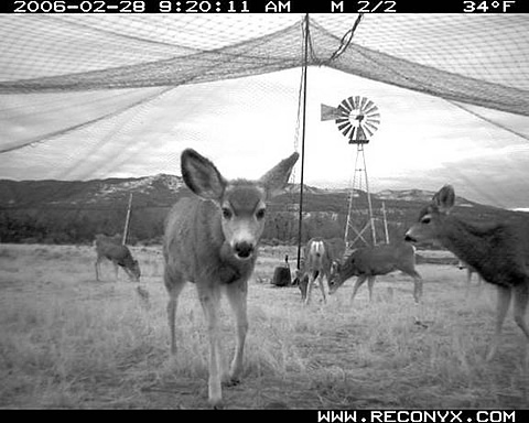 Mule deer under capture net just prior to net being sprung.