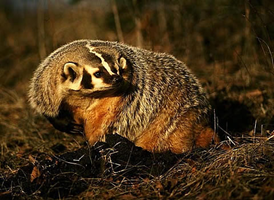 The American badger is sensitive to habitat disturbance both in its home range and in the effect disturbances have on its prey species.