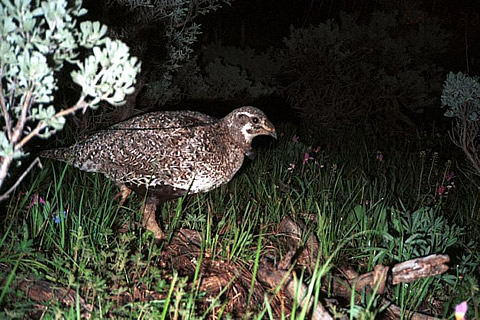 Sage grouse hen at nest.