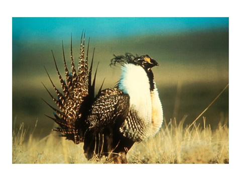 Sage grouse strutting on lek during the breeding season, Pinedale Anticline, Sublette County, WY.