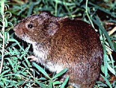 The prairie vole is the most common and best indicator of the rodent population on the Tallgrass Prairie Preserve.