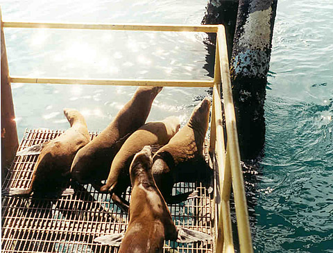 Cleaner water in Santa Barbara Channel attracts seals to Holly Platform.
