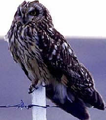 The short-horned owl is the top of the LLNL trophic model, which moves from vegetation to prairie vole to owl.