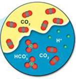Diagram depicting the CO2 interacting with the brine water, leading to solubility trapping. At the CO2/brine water interface, some of the CO2 molecules dissolve into the brine water within the rock's pore space. Some of that dissolved CO2 then combines with available hydrogen atoms to form HCO3-.